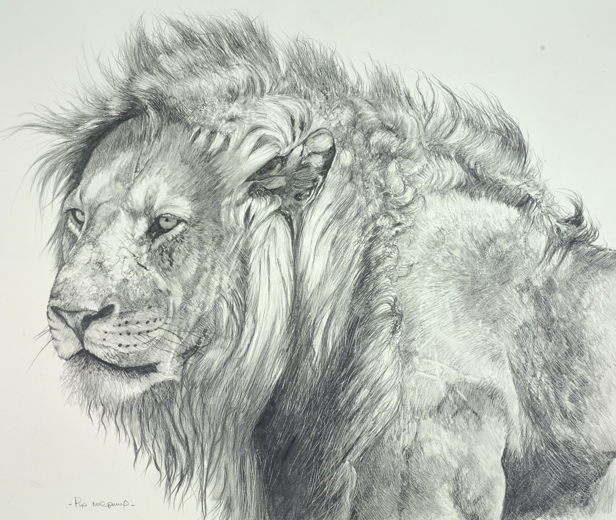 Lion Sketch by pip mcgarry -  sized 19x16 inches. Available from Whitewall Galleries